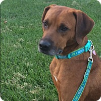 Labrador Retriever/Black Mouth Cur Mix Dog for adoption in Newport, Kentucky - Patriot