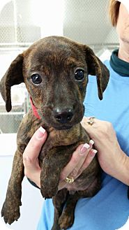 Terrier (Unknown Type, Small) Mix Puppy for adoption in Hawk Point, Missouri - Greg