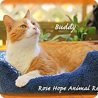 Adopt A Pet :: Buddy - Waterbury, CT