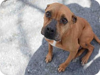 Pit Bull Terrier Dog for adoption in Atlanta, Georgia - CONNIE