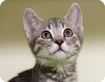 Domestic Shorthair Kitten for adoption in Red Bluff, California - Sophia