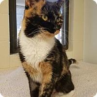 Calico Cat for adoption in Hendersonville, North Carolina - Ginger