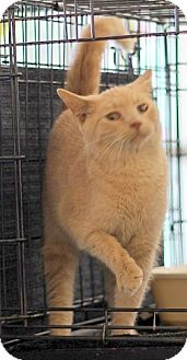 Domestic Shorthair Kitten for adoption in Concord, North Carolina - Tango