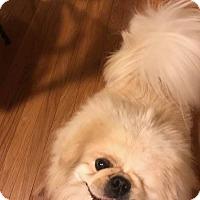 Pekingese Dog for adoption in Portland, Maine - Patchy