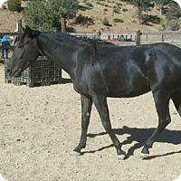 Adopt A Pet :: Presley - El Dorado Hills, CA