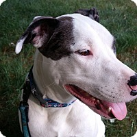 American Bulldog/Catahoula Leopard Dog Mix Dog for adoption in Allison Park, Pennsylvania - Lexie