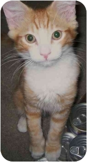 Domestic Mediumhair Kitten for adoption in Elverta, California - Milo