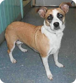 Corgi/Jack Russell Terrier Mix Dog for adoption in geneva, Florida - Mila