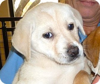 Labrador Retriever Mix Puppy for adoption in Charlemont, Massachusetts - Lizzy