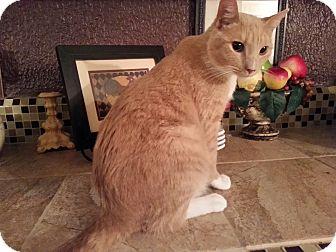Domestic Shorthair Cat for adoption in Harrisburg, North Carolina - Pumpkin