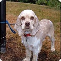 Adopt A Pet :: Mozart - Tacoma, WA