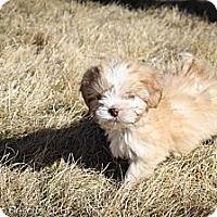 Adopt A Pet :: Shoda - Broomfield, CO