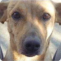 Adopt A Pet :: Kobe - West Hills, CA