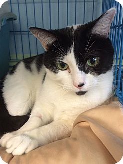 Domestic Shorthair Cat for adoption in New York, New York - Geraldine