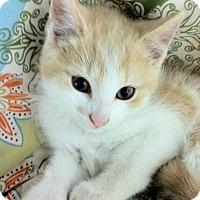 Adopt A Pet :: Chowder - Bensalem, PA