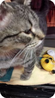 American Shorthair Cat for adoption in Chicago, Illinois - Rosalie