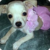 Adopt A Pet :: Desdemona - Austin, TX