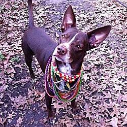 Photo 2 - Labrador Retriever/Australian Cattle Dog Mix Dog for adoption in Garland, Texas - Coco