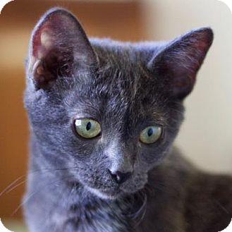 Domestic Shorthair Kitten for adoption in Austin, Texas - Denali