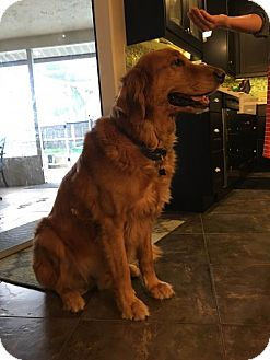 Golden Retriever Dog for adoption in Naples, Florida - Emmitt 380