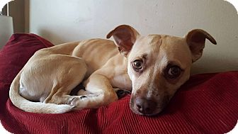 Chihuahua Mix Dog for adoption in ottawa, Ontario - Ragner