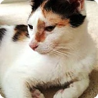 Calico Cat for adoption in Orange, California - Candi