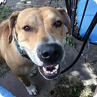 Adopt A Pet :: Clara - Littleton, CO