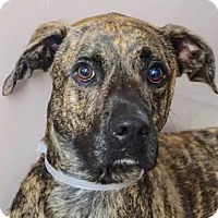 Great Dane/Plott Hound Mix Dog for adoption in Woodland Park, New Jersey - Nature Dane