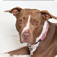 Adopt A Pet :: Darla - San Luis Obispo, CA