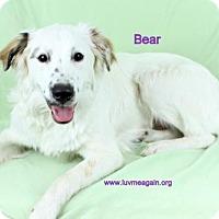 Adopt A Pet :: Bear2 - Bloomington, MN