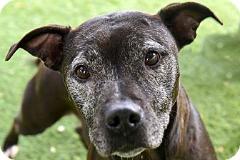 American Pit Bull Terrier Mix Dog for adoption in San Antonio, Texas - Kisses