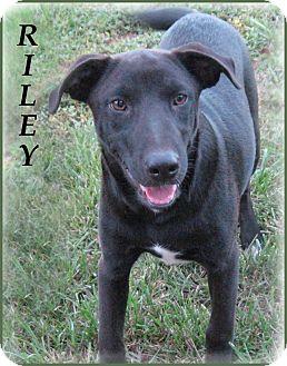 Plott Hound/Border Collie Mix Puppy for adoption in Marlborough, Massachusetts - Riley- Southern Gentleman