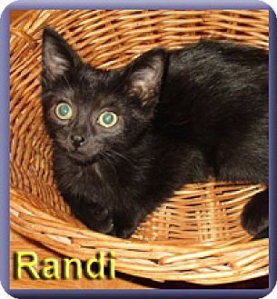 Domestic Shorthair Kitten for adoption in Aldie, Virginia - Randi