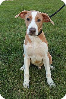 Labrador Retriever/Hound (Unknown Type) Mix Puppy for adoption in Joliet, Illinois - Pitt