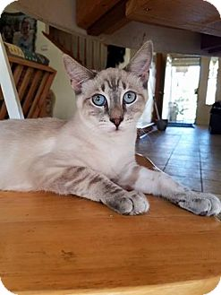 Siamese Cat for adoption in Los Banos, California - Mr. Muffins