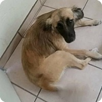 Shepherd (Unknown Type)/Belgian Malinois Mix Dog for adoption in Dana Point, California - Reign