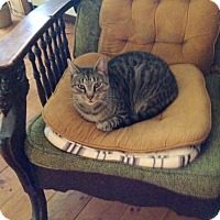 American Shorthair Cat for adoption in New York, New York - Precious