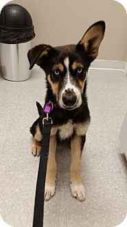 Shepherd (Unknown Type)/Husky Mix Dog for adoption in Saskatoon, Saskatchewan - Jax-Adopted