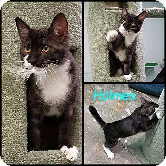 Domestic Shorthair Cat for adoption in California City, California - Holmes