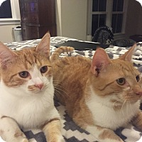 Domestic Shorthair Kitten for adoption in Richmond, Virginia - Candy Corn & Creamsicle