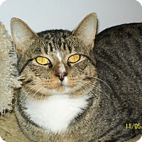 Domestic Shorthair Cat for adoption in Mexia, Texas - Bronson