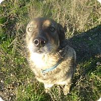 Alaskan Malamute Mix Dog for adoption in Qualicum Beach, British Columbia - Daisy