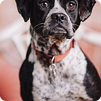 Adopt A Pet :: Eva - Portland, OR