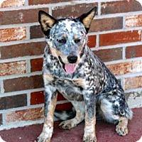Adopt A Pet :: BLUE BAYOU - Brattleboro, VT