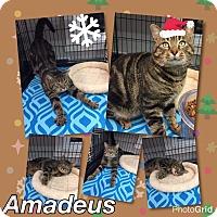 Adopt A Pet :: Amadeus - Atco, NJ