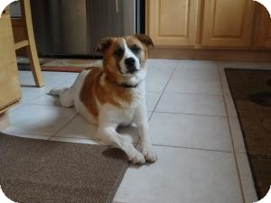 Beagle/Jack Russell Terrier Mix Dog for adoption in Marlton, New Jersey - Mayvis