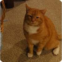 Domestic Shorthair Cat for adoption in Barnegat, New Jersey - Big Red