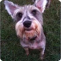 Adopt A Pet :: Scruffy - Arlington, TX
