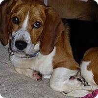 Adopt A Pet :: Nickel - Novi, MI