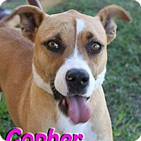 Adopt A Pet :: Gopher - Midland, TX